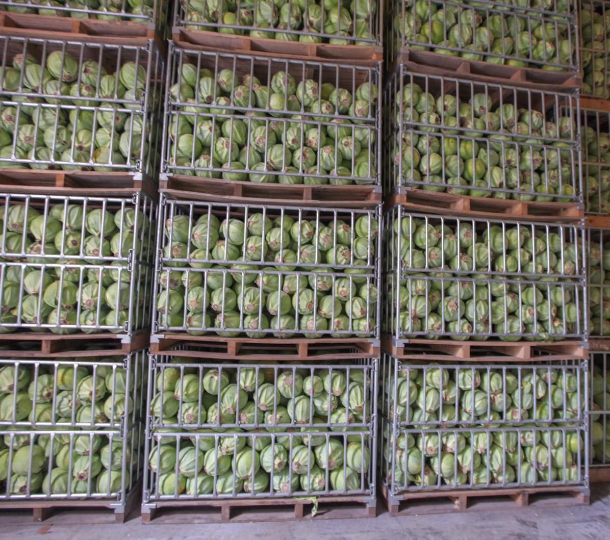 Odmiany kapusty - Kapusty przechowalnicze
